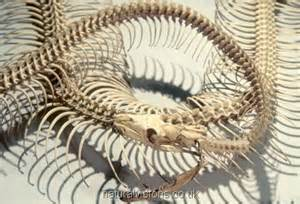 Bones boa