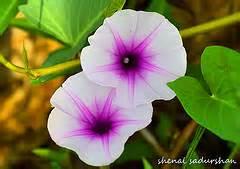 Kangkong flowers