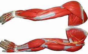 Tissues arm