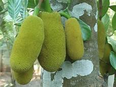 November 17 Jackfruit