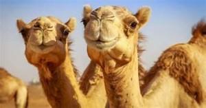 Listen-Camels